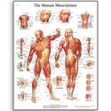 Εικόνα της Χάρτης μυικού συστήματος